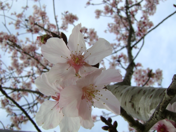 cherry-blossoms-spring-2011-11