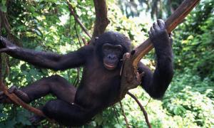 Bonobo, Congo